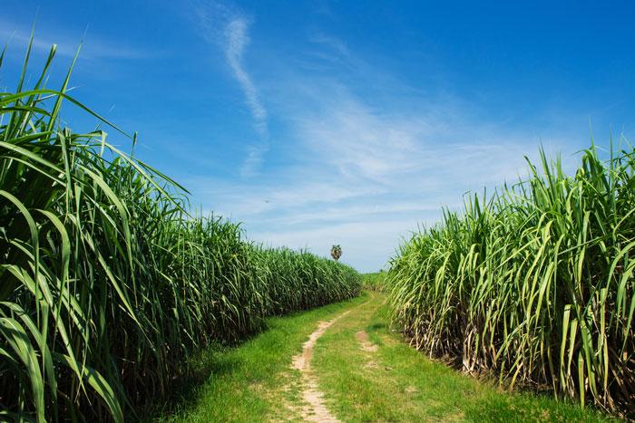 Champs de canne à sucre en Guadeloupe ,terre mondialement connue pour son rhum